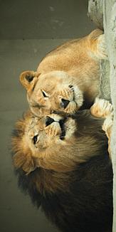 仲良しライオン