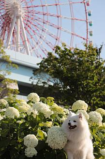紫陽花と日本スピッツ