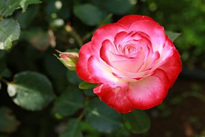 赤い薔薇【手帳フレーム】
