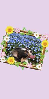 チワワとお花畑(パープル)