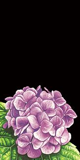 紫陽花 ブラック
