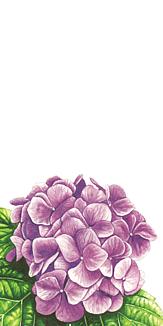 紫陽花 ホワイト