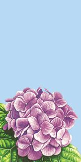 紫陽花 水色
