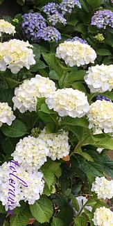 紫陽花 花言葉付き
