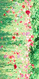 ポピーの花畑