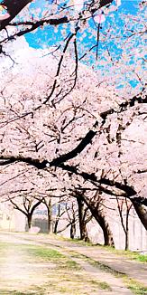 桜のアーチ