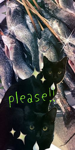 黒猫ツインズと魚の群れ