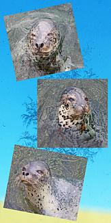 北海道のアザラシ
