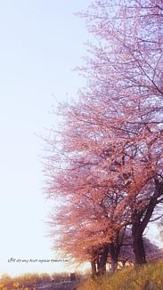 桜朝焼けNo.1-2