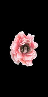 ピンクの花 黒地