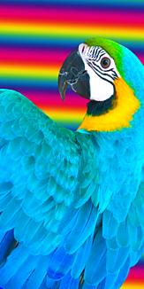 ルリコンゴウインコ(虹)