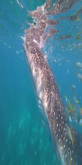 水中ジンベイザメ