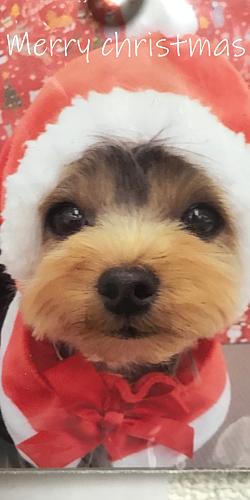 ヨークシャーテリア  クリスマス