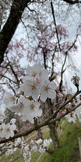 桜2021!