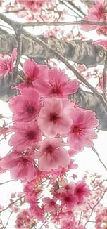 ワンコ王国を散策中に見かけたサクラと呼ばれる花をご紹介します