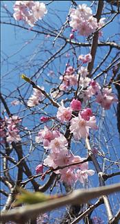 ワンコ王国の桜がもうすぐ満開です。可愛い蕾と青空