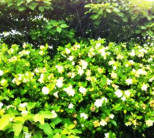 くちなしの花の植木