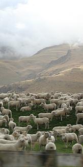 NewZealandの羊たち