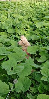 ふきの中の犬