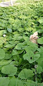 ふきと綿毛と犬
