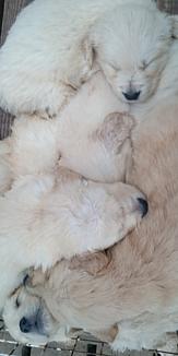 子犬たちのお昼寝