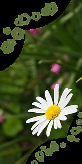 一輪のマーガレットⅡ ~クリア・ロゴ~