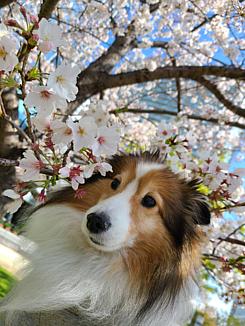 わんこと桜