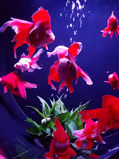 Goldfish in the water